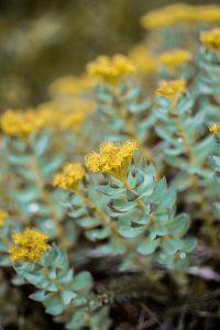 rhodiole plante anti stress travail